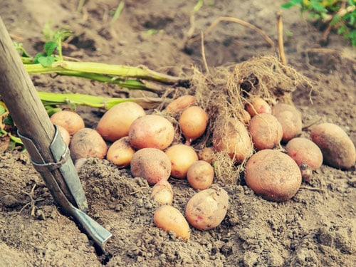 Potatoes_being_lifted_from_the_ground